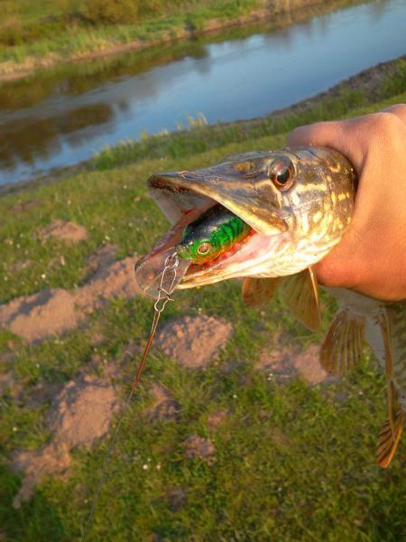Fishing for wobblers Kodasaka