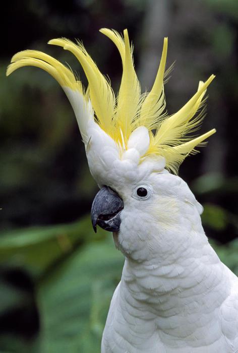 Попугай картинки какаду