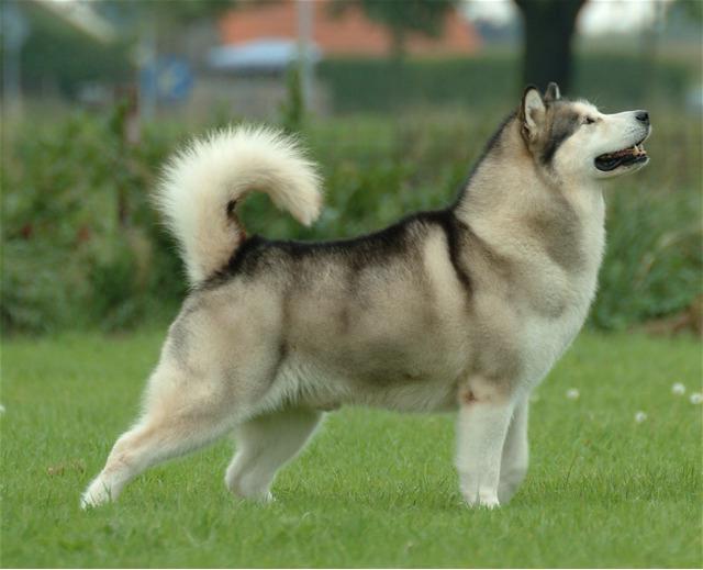 Собака маламут: отзывы собаководов