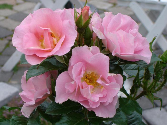 кустовые розы в саду