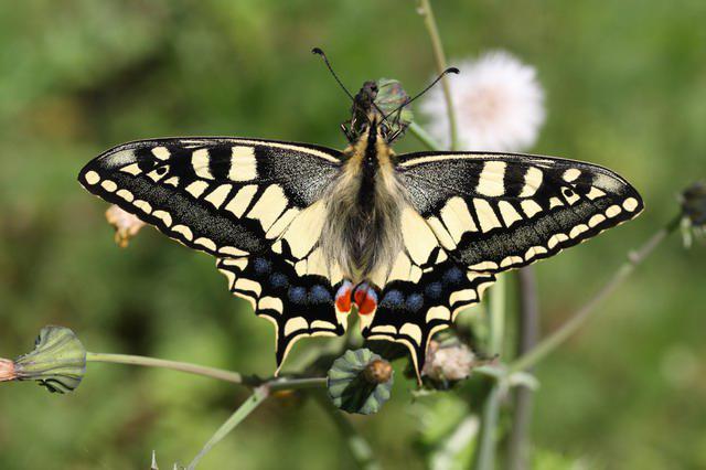 бабочка махаон описание