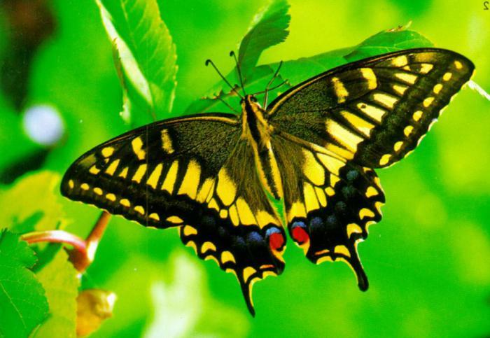 Описание бабочки махаон 24