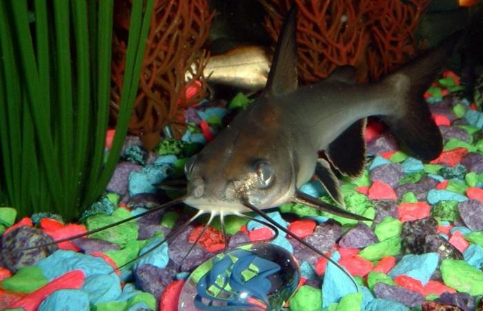 рыба акулий сом