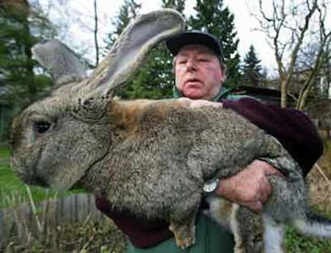 Кролики фландр содержание и кормление