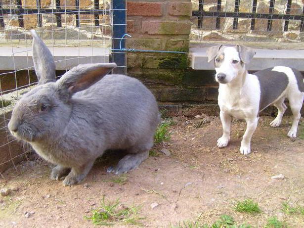 кролик фландр содержание