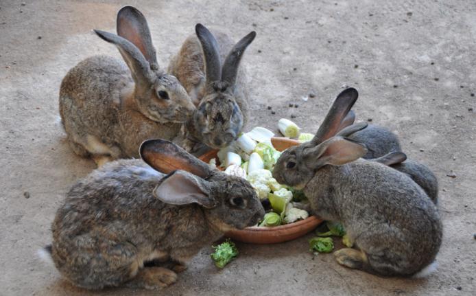 кролики фландр разведение