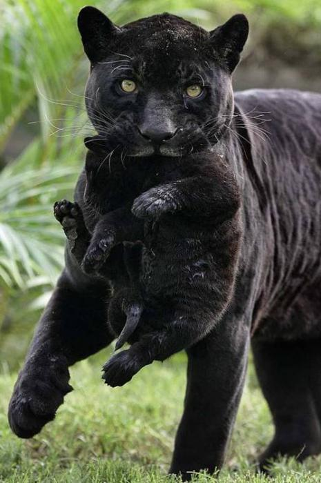 black panther wallpaper animal