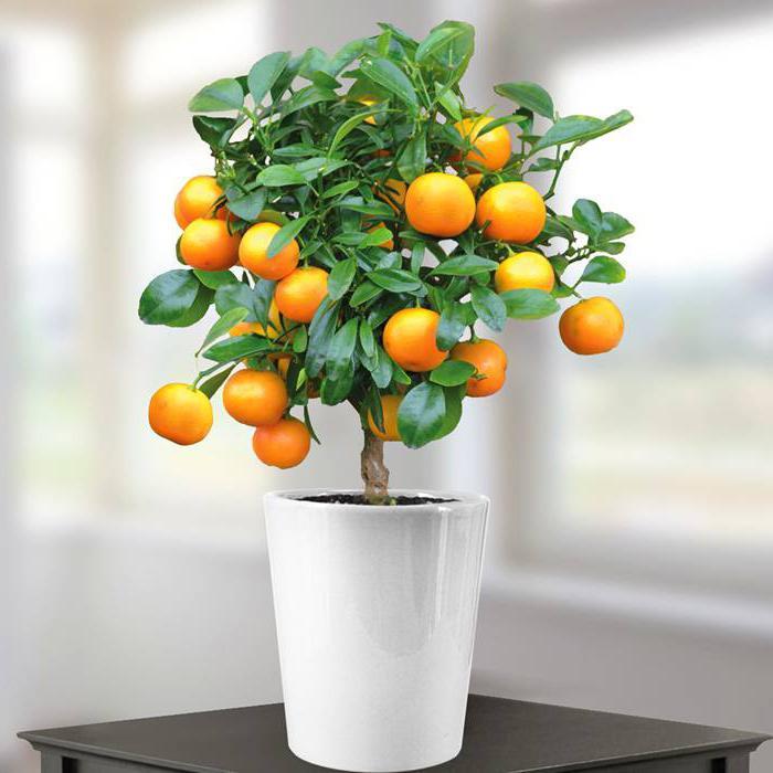 Дерево апельсин в домашних условиях