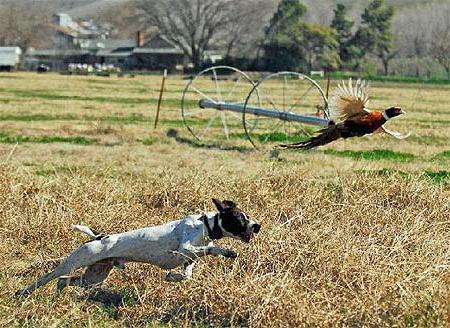 Охота на фазанов с лайкой (фото)