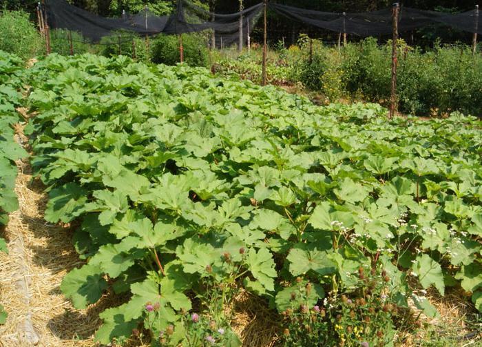 бамия выращивание из семян