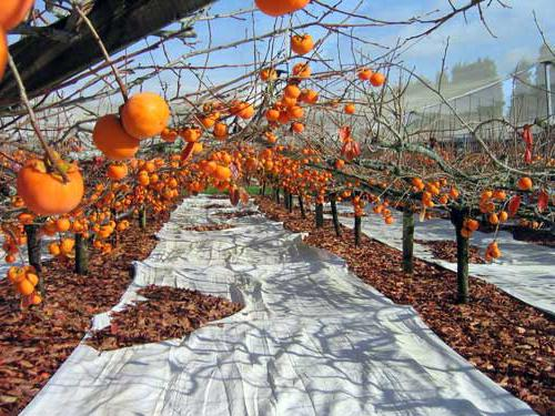 persimmon cultivation