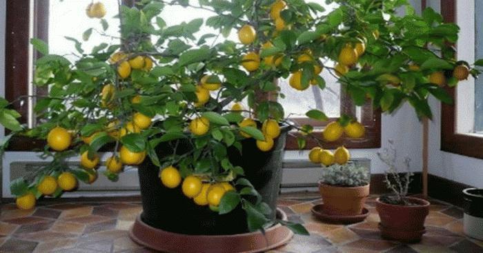 Лимон и его выращивание в домашних условиях 609