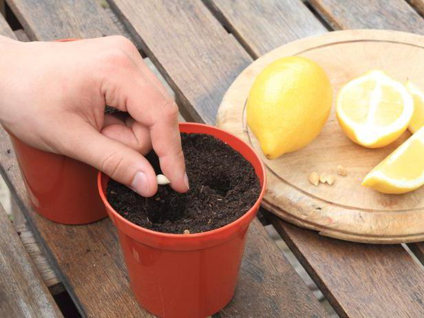 Садим лимон в домашних условиях