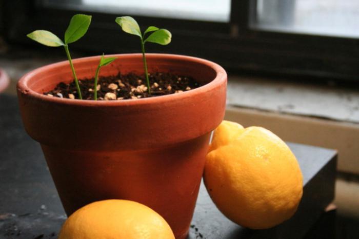 Выращивание лимона