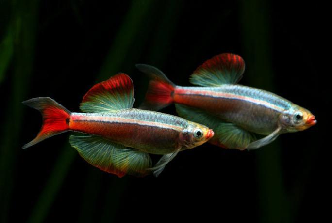Fish Cardinals