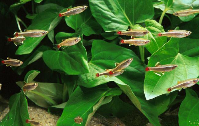 Fish Cardinal Reproduction