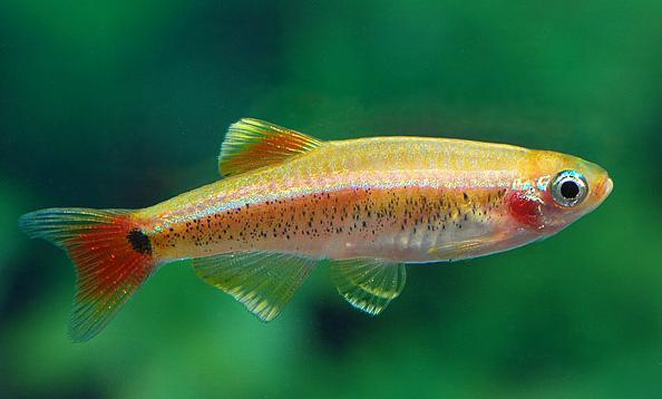 Fish Cardinal. Compatibility