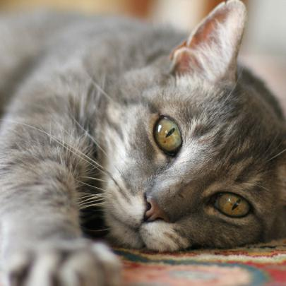 how to treat calcivirosis in cats