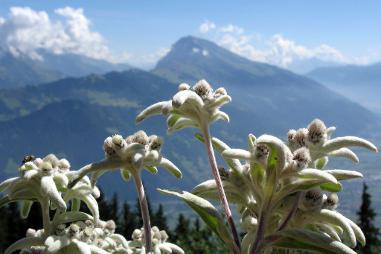 Где растет цветок эдельвейс