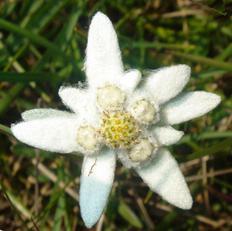 Эдельвейс значение цветка