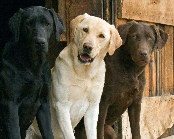 Собака лабрадор: фото, описание породы, характер и отзывы владельцев