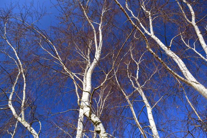 Karelian birch photo