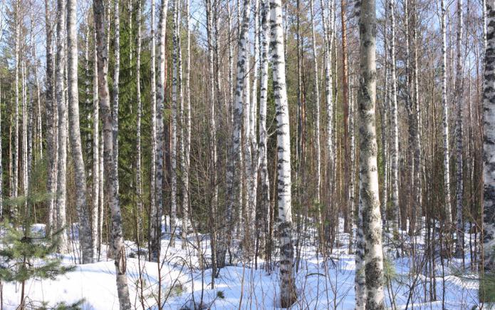 Karelian birch