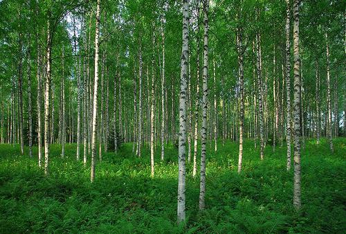 Karelian light birch