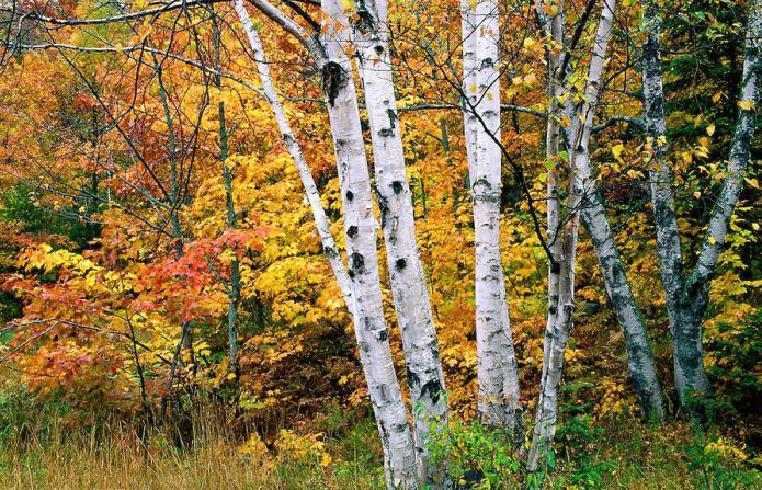 Karelian birch seedlings