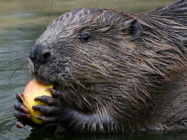 what does a beaver eat in summer