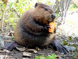 what beavers eat