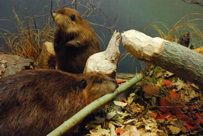 what beaver eats