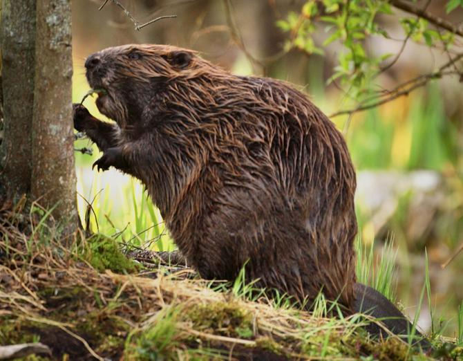 what do beavers eat in nature