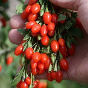ягоды годжи полезные свойства юрги