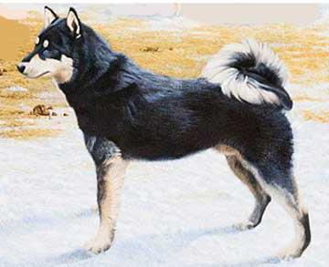 восточно сибирская лайка характеристика породы