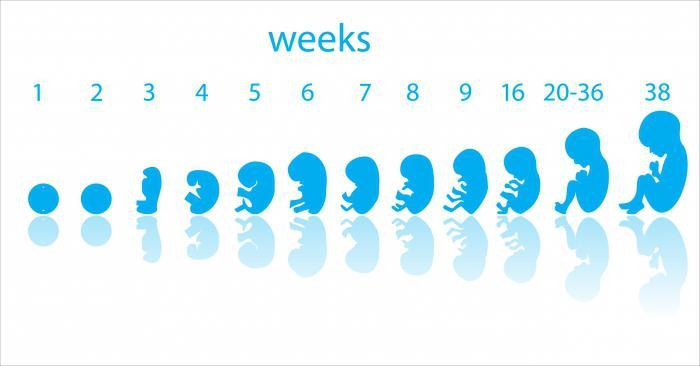 Беременность размеры плодного яйца