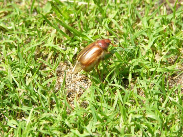 Майский жук, насекомое