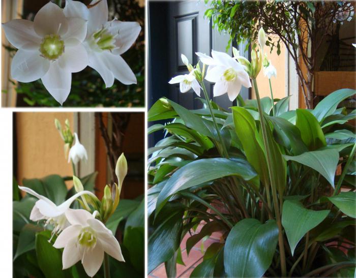 Комнатные цветы эухарис