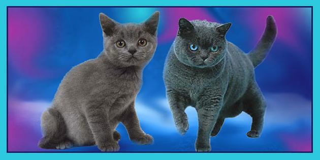 британские кошки описание породы