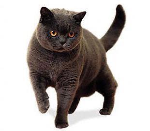 британская порода кошек основные сведения