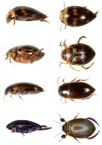виды жуков плавунцов