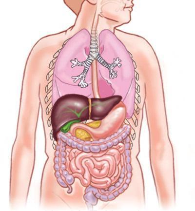 основные внутренние органы
