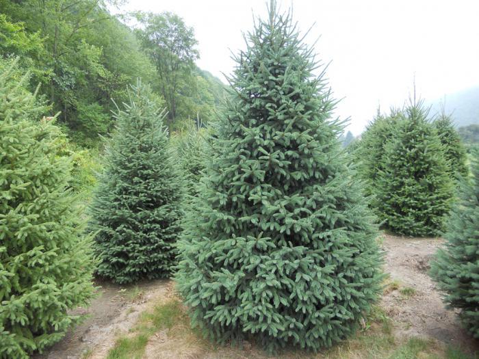 spruce canadian