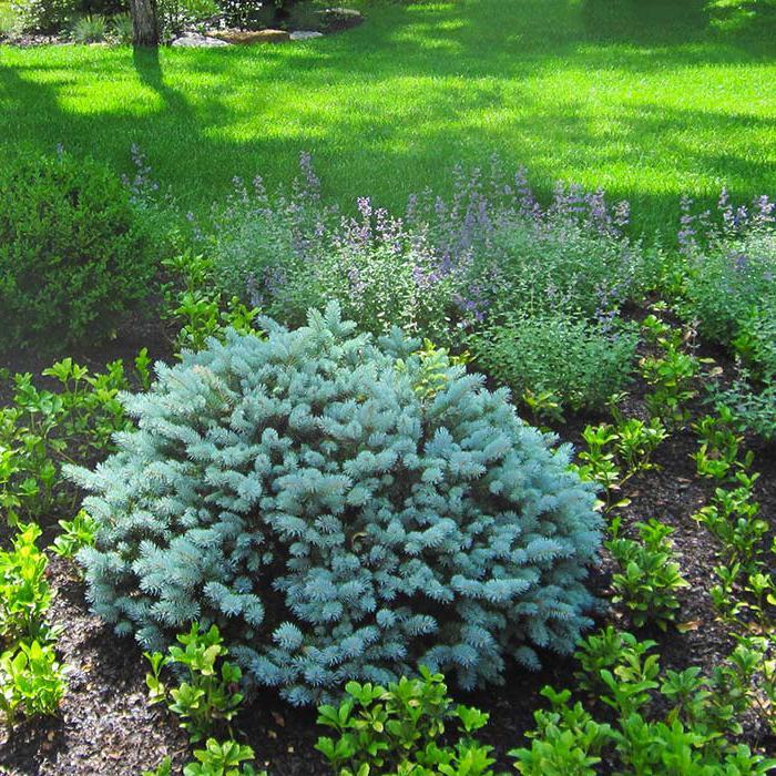 canadian spruce