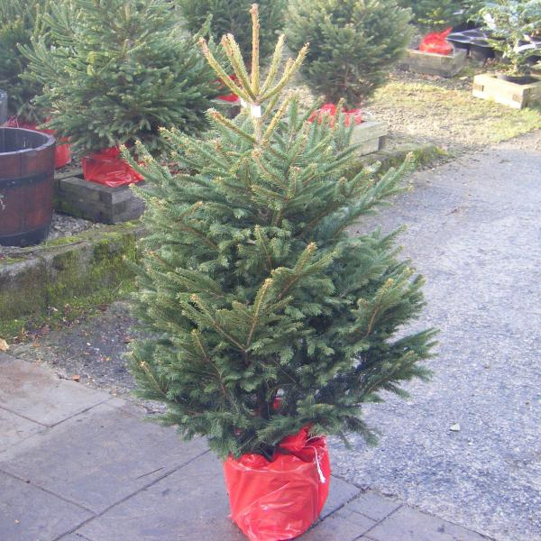 Canadian Spruce Potted Care