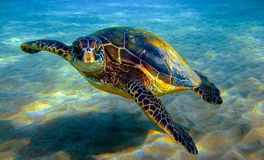 к чему снится черепаха морская