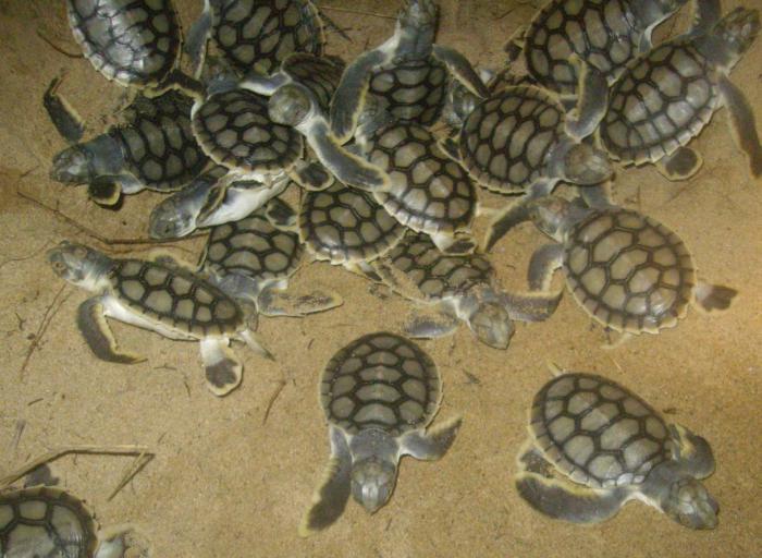 к чему снится сон черепаха