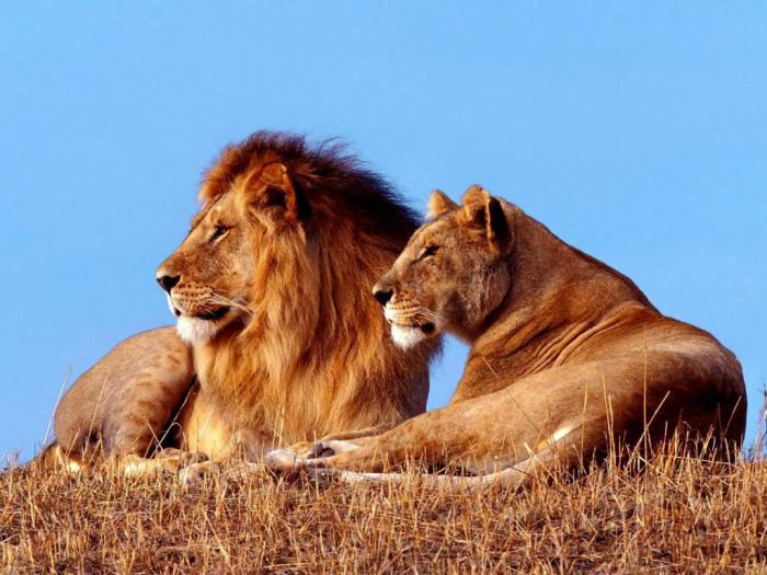 мужчина обезьяна лев характеристика