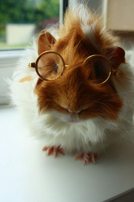 how many years do guinea pigs live