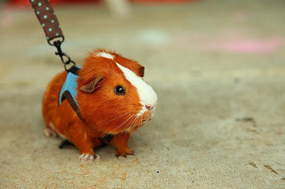 how many skinny guinea pigs live